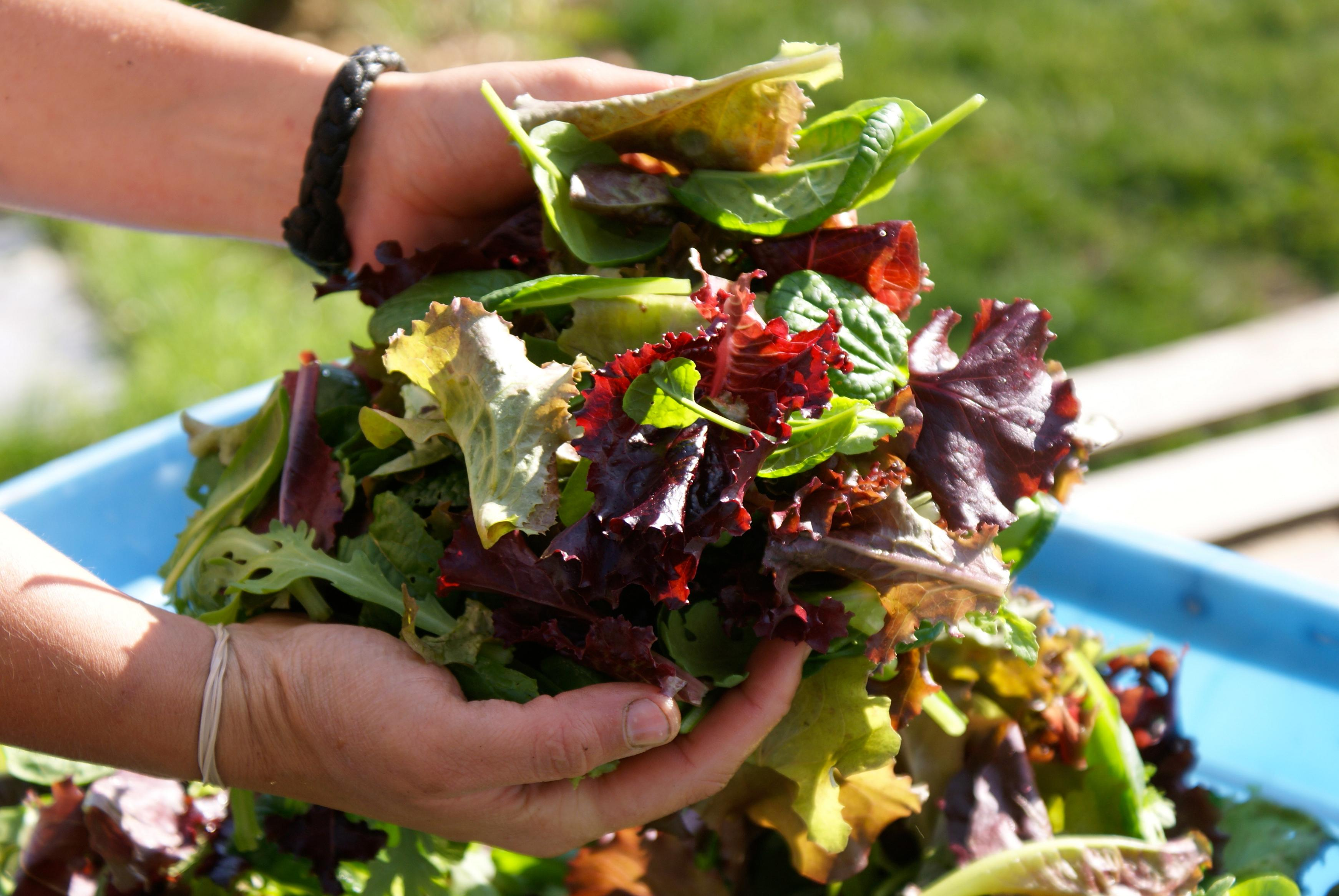 Salades zaaien